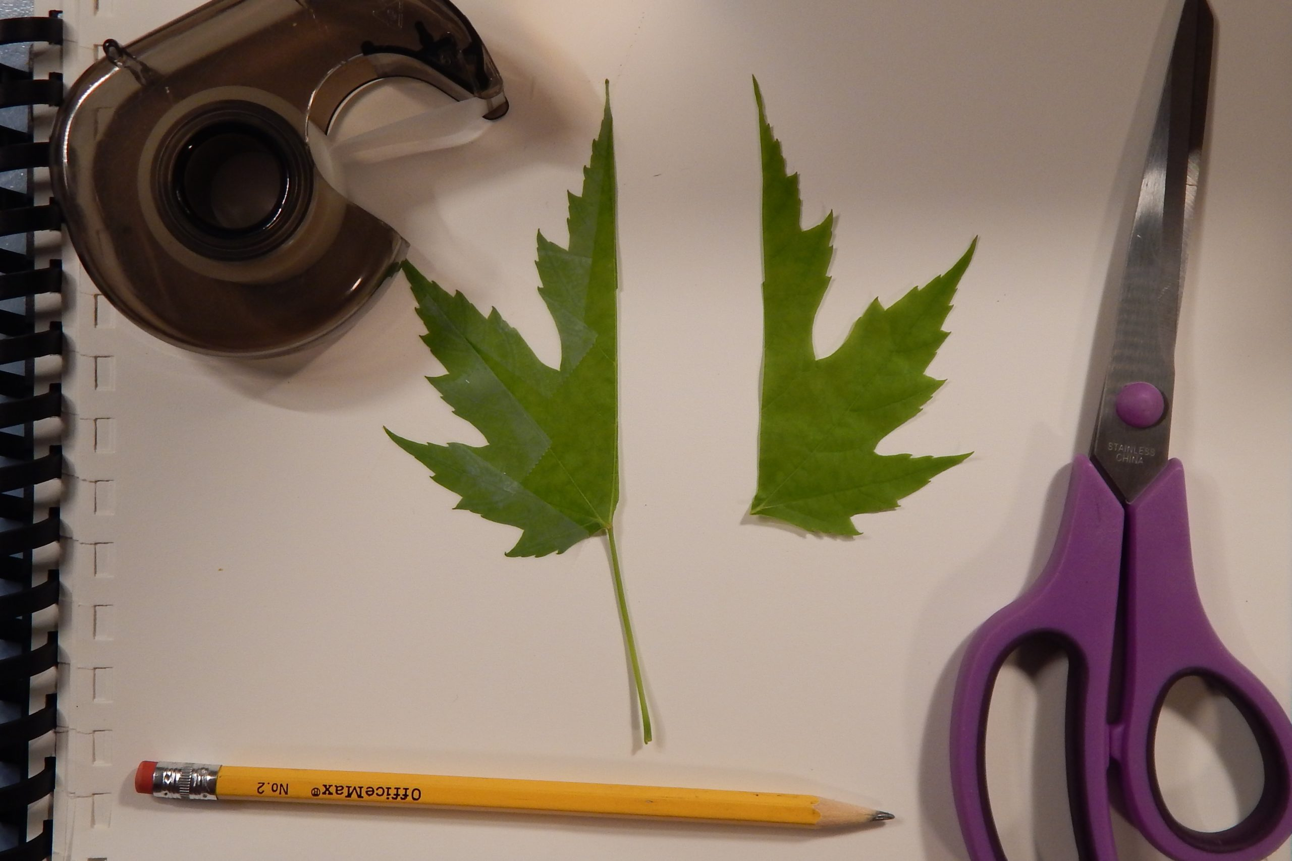 2 Cut and Tape Leaf scaled - Leaf Symmetry